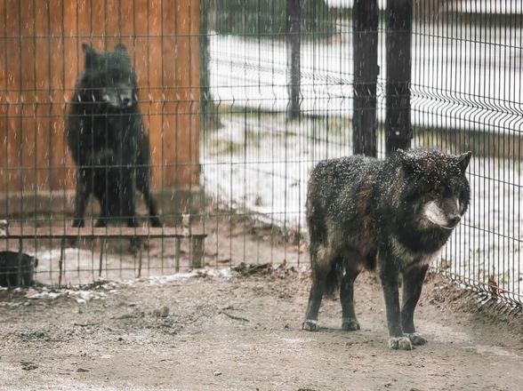 Медведи Миша и Маша из нижегородского «Мишутки» готовятся к спячке в «Маленькой стране» - фото 3