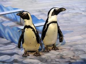 Пингвины на манеже: новогоднее шоу в нижегородском цирке