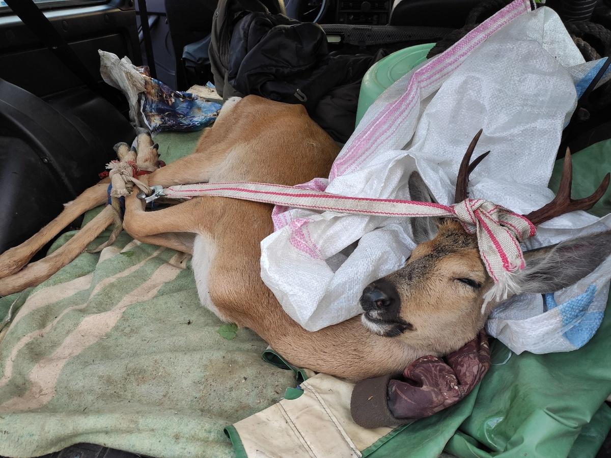 Пойманного в Нижнем Новгороде самца косули вернули в лес - фото 1