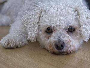 Пятый случай «собачьего» мошенничества зафиксирован в Нижнем Новгороде