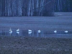 Нижегородец запечатлел дружбу лебедей, крякв и чибисов
